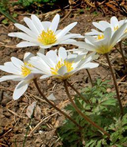 Anemone blanda - Windflower @DBG LAH 003