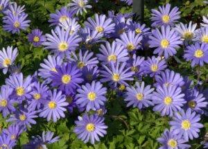 Anemone blanda_Windflower_PtDefiancePark-Tacoma-WA_LAH_0560