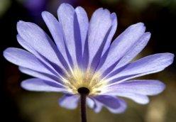 Anemone blanda_Windflower_PtDefiancePark-Tacoma-WA_LAH_0571