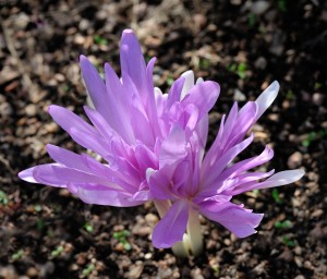 Autumn Crocus_DBG_LAH_4114