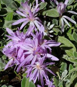 Colchicum hyb_Autumn Crocus_DBG_LAH_3082
