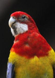 Eastern Rosella Parrot_CheyenneMtnZoo-CO_LAH_4110-001