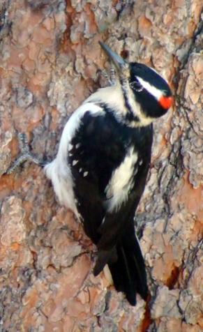 Hairy Woodpecker @BlackForestCO 2008oct10 LAH 156ra