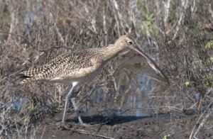 Long-billed Curlew_PadreIs-TX_LAH_0304