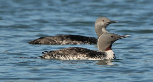 Red-throated Loon_PillarPoint-HalfMoonBay-CA_LAH_1083