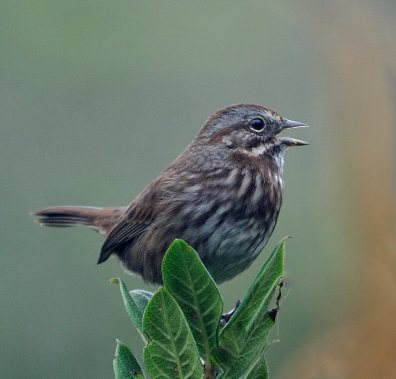 Song Sparrow_OnaBeachOR_20090923_LAH_2128