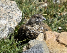 White-tailed Ptarmigan_MtEvans-CO_LAH_6535