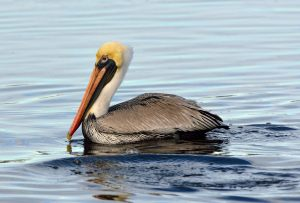 Brown Pelican_DingDarlingNWR-FL_LAH_6701