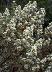 Chamaebatiania millefolium - Fernbush_XG_20090720_LAH_7265