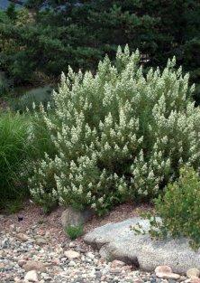 Chamaebatiania millefolium - Fernbush_XG_20090720_LAH_7320