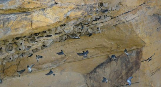 Cliff Swallows_CarrizoCyn-ComancheNatlGrasslands-CO_LAH_5941