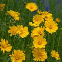 Coreopsis_BlkForest_20090706_LAH_5855