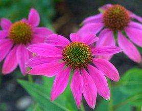 Echinacea purpura_Purple Coneflower_FederalWay-WA_LAH_4031.nef