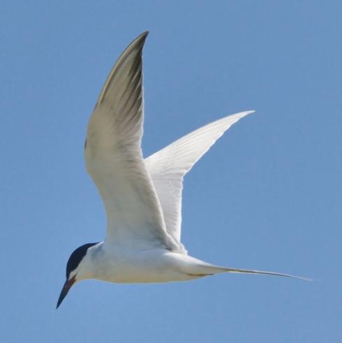 Forster's Tern_ShorelinePark-MtnView-CA_LAH_8828