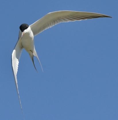 Forster's Tern_ShorelinePark-MtnView-CA_LAH_8854-001