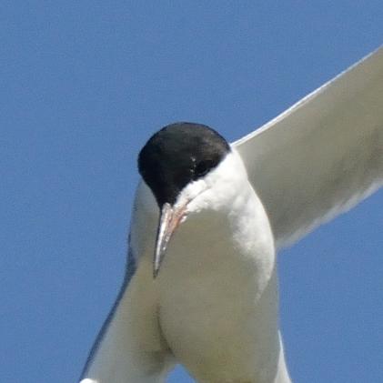 Forster's Tern_ShorelinePark-MtnView-CA_LAH_8854