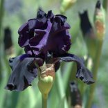 Iris germanica_Bearded Iris_DBG-CO_LAH_6478