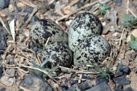 Killdeer nest_SEColorado_LAH_4698