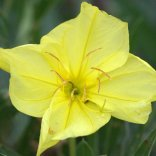 Oenothera sp. - Evening Primrose_DBG_20090915_LAH_0288