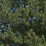 Ponderosa Pine_XG-CoSpgsCO_LAH_9948