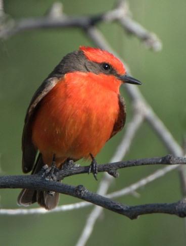 Vermilion Flycatcher_Agua Caliente-Tucson_LAH_9039