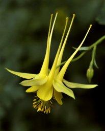 Yellow Columbine_1022