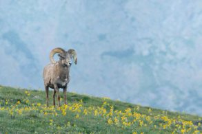 Bighorn Sheep_RMNP-CO_LAH_8701