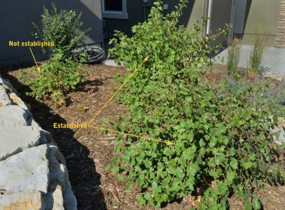 Boulder raspberry established_COS-CO_LAH_1543