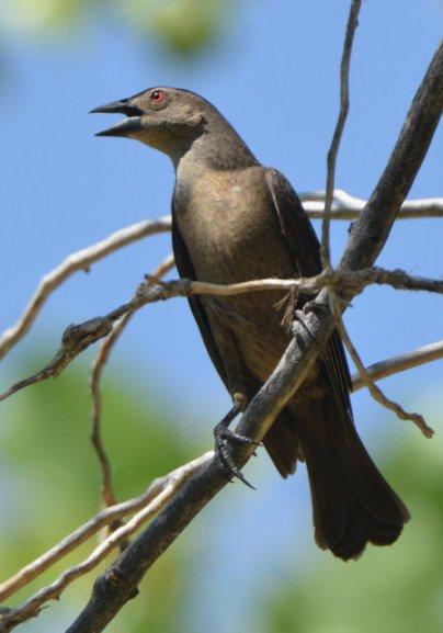 Bronzed Cowbird_RattlesnakeSprings-NM_LAH_8843