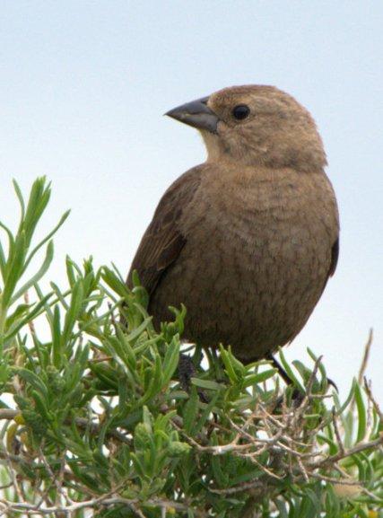 Brown-headed Cowbird_AlamosaNWR-CO_LAH_2462