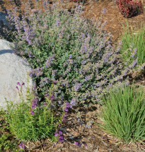 Catmint established_COS-CO_LAH_1542