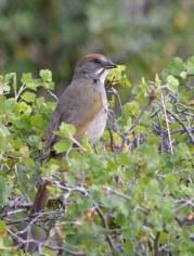 Green-tailed Towhee_RMNP-CO_LAH_8180