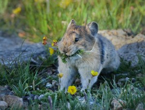 Pika_RMNP-CO_LAH_9009