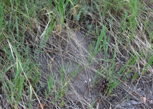 Pocket Gopher hole_ColoSpgs-CO_LAH_2262