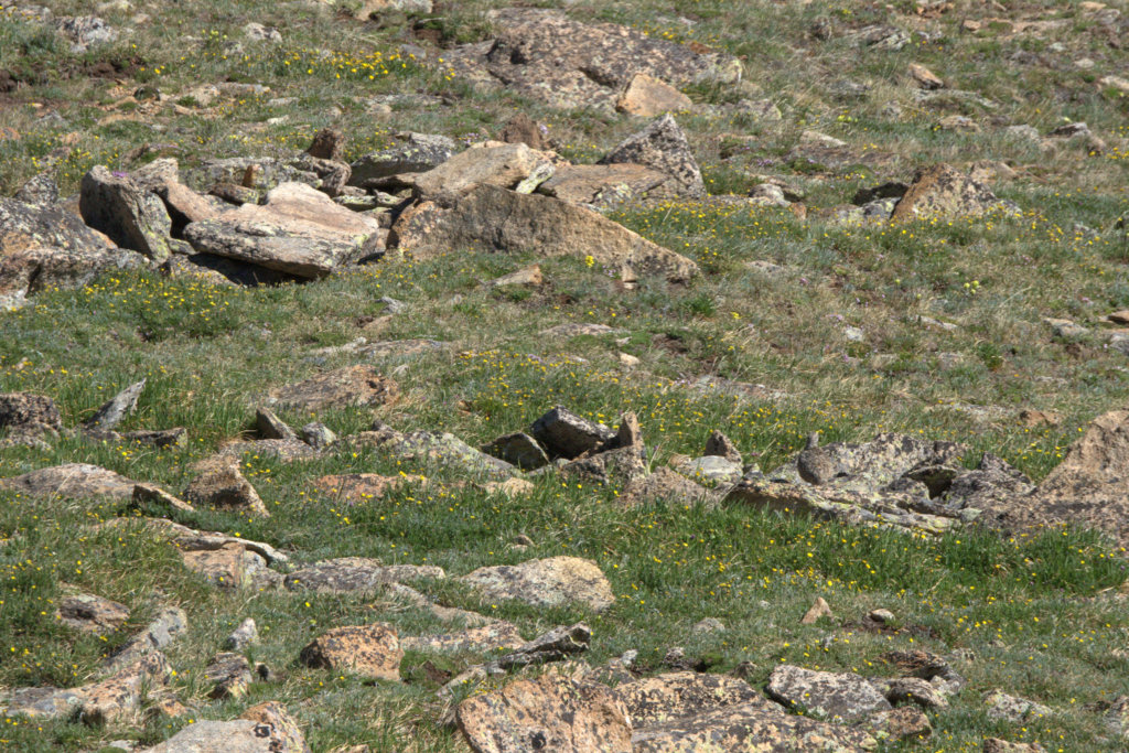 White-tailed Ptarmigan female_RMNP-CO_LAH_9130