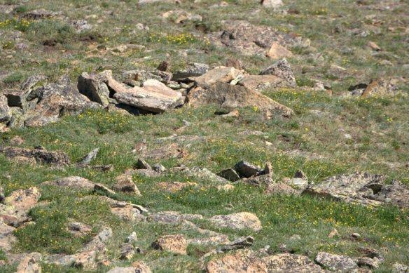 White-tailed Ptarmigan male_RMNP-CO_LAH_9143