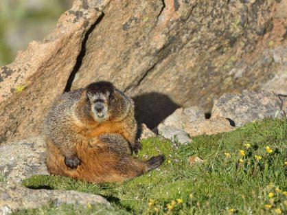 Yellow-bellied Marmot_RMNP-CO_LAH_8968