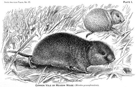 640px-Microtus_pennsylvanicus_illustration