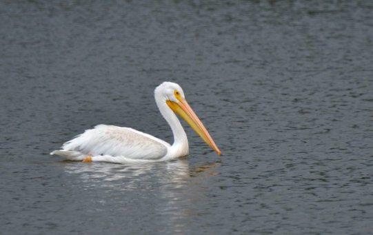 American White Pelican_LakeManitou-CO_LAH_2196