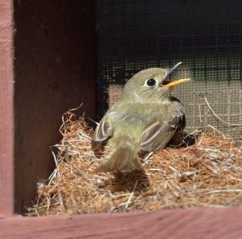 Cordilleran Flycatcher fledgling_ManitouLake-CO_LAH_1327