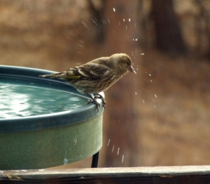 House Finch at heated birdbath @BlkForest 24feb08 LAH 007r