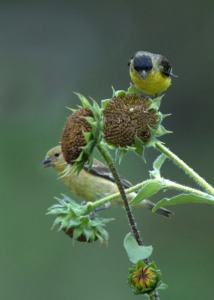 Lesser Goldfinch_BlkForest-CO_LAH_8482