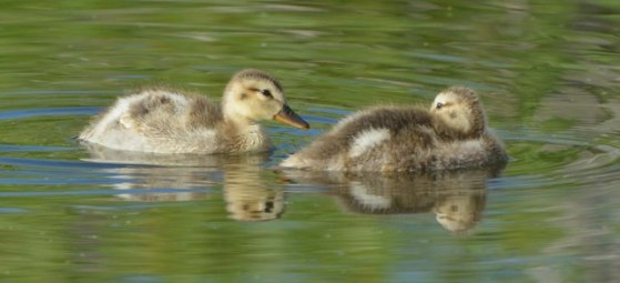 Mallard duckling_LakeManitou-CO_LAH_2022