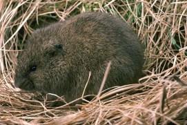 meadow vole - fcps.edu