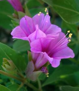 Mirabilis multiflora - Desert Four O'clock @XG 9aug05 LAH 080 print