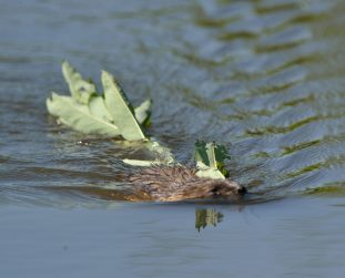 Muskrat with plant_ManitouLake-CO_LAH_1347