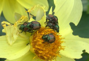Popillia japonica_Japanese Beetle_HudsonGardens-CO_LAH_5564