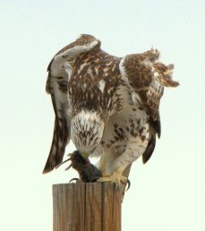 Red-tailed Hawk with prey_RMANWR-CO_LAH_8336-001