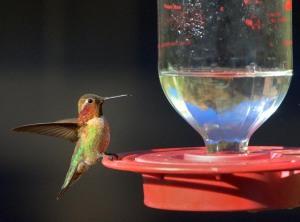 Rufous Hummingbird_MaderaCyn-AZ_LAH_5215