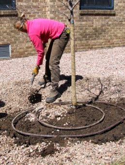 Shoveling gravel mulch over irrigation hose around planted tree @CarnegieLib 16apr07 LAH 971